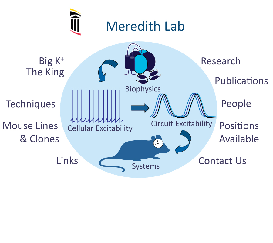 Andrea Meredith Lab